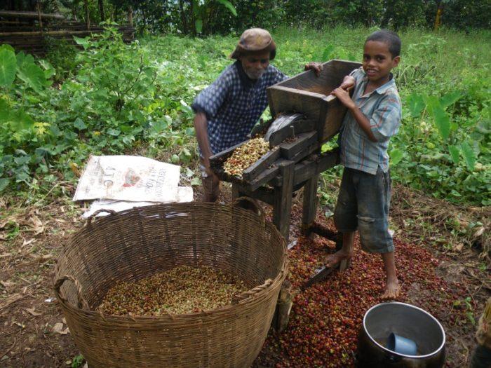 東ティモールのコーヒーの収穫